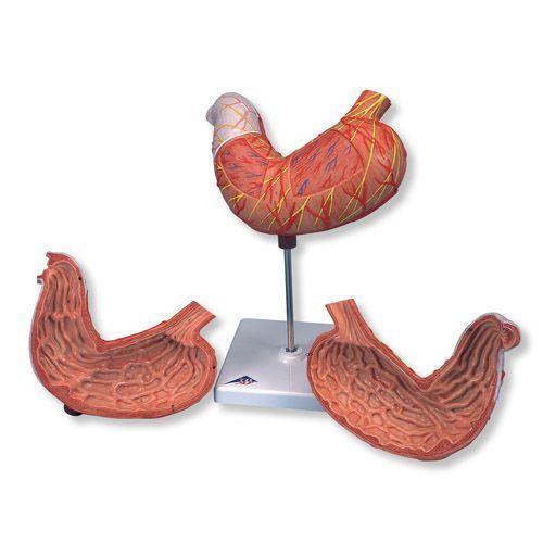 Modello di stomaco in 2 parti, K15
