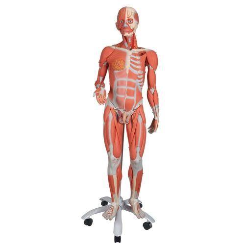 Figura con muscoli bisessuata, in 45 parti B50