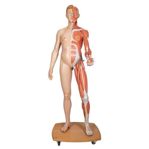Figura con muscoli 3B Scientific a grandezza naturale, bisessuato, europea, in 39 parti B53