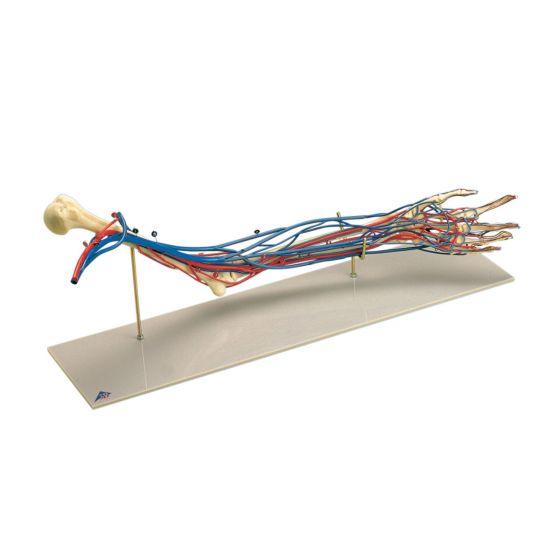 Modello dei Vasi sanguigni del braccio W19019