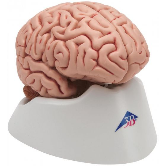 Cervello, modello classico, in 5 parti C18