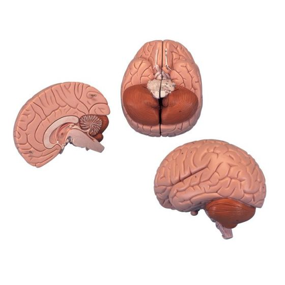 Modello del Cervello in 2 parti C15