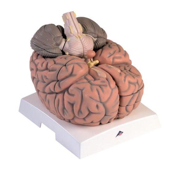 Mega cervello, ingrandito 2,5 volte, in 14 parti VH409