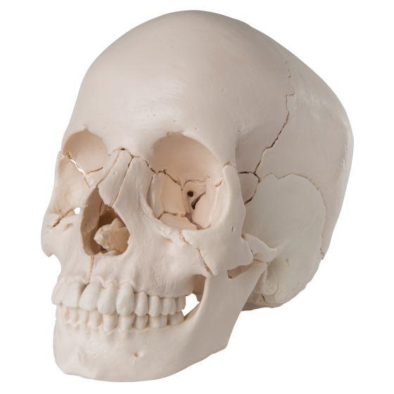 Cranio scomponibile 3B Scientific - Versione anatomica in 22 parti A290