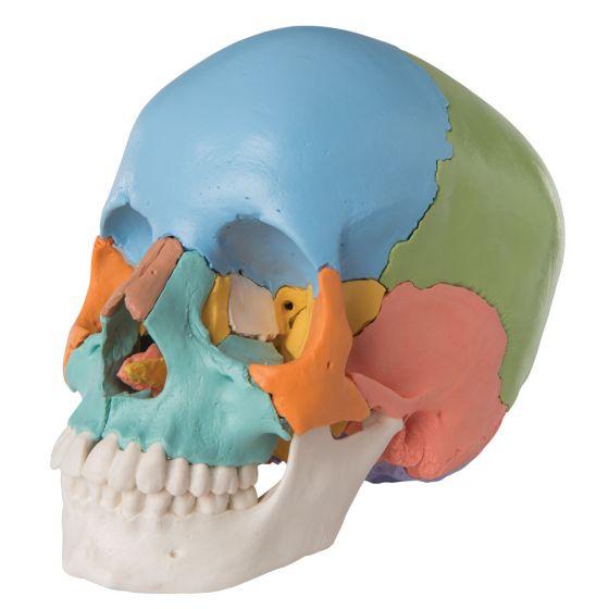 Cranio scomponibile 3B Scientific- Versione didattica in 22 parti A291