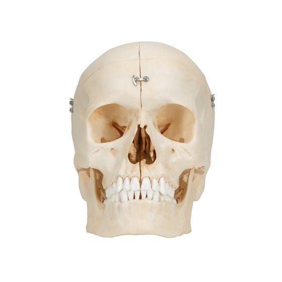 BONElike Cranio - cranio osseo, in 6 parti A281