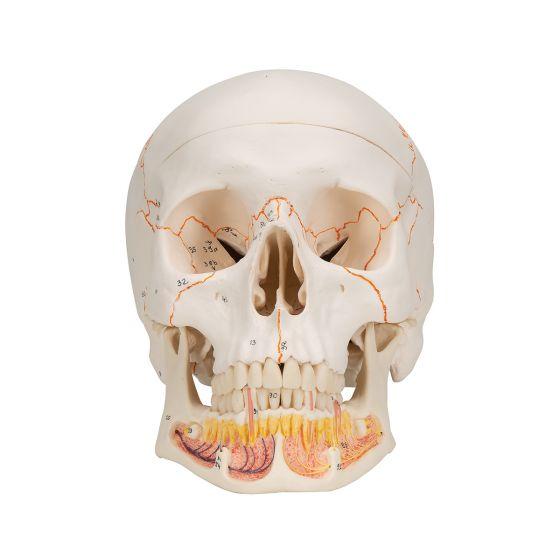 Cranio, modello classico, con mandibola aperta A22