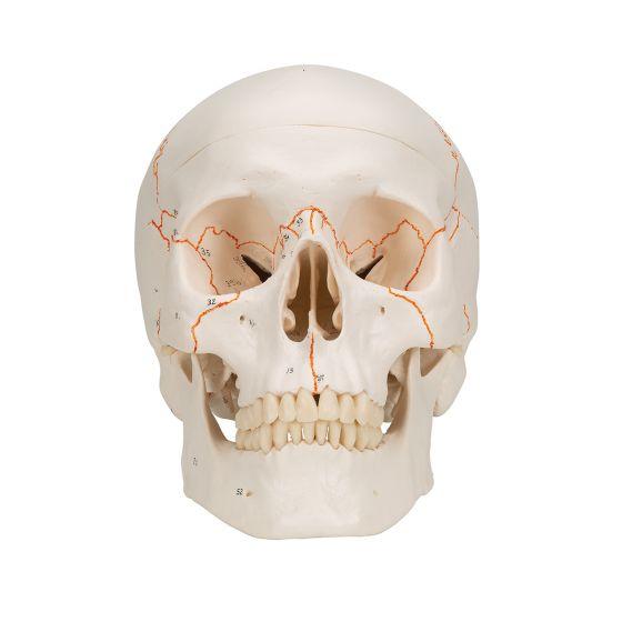 Modello classico di cranio con numerazione, in 3 parti A21