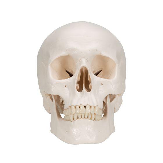 Cranio, modello classico, in 3 parti A20