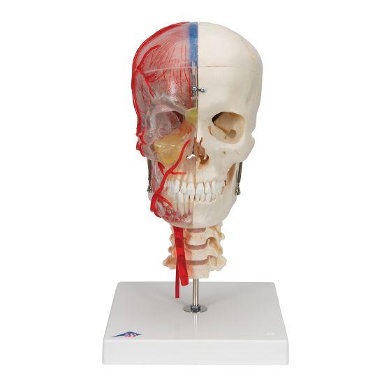 Modello di Cranio didattico di lusso BONElike in 7 parti A283