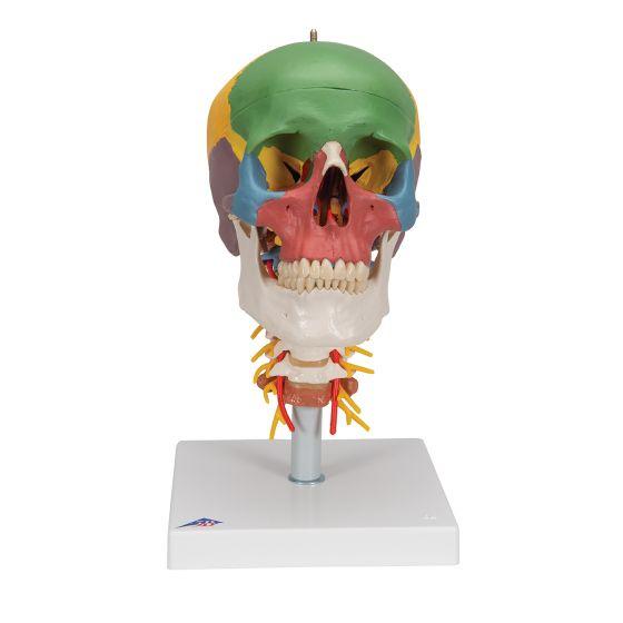 Modello didattico del cranio, su vertebre cervicali, in 4 parti A20/2