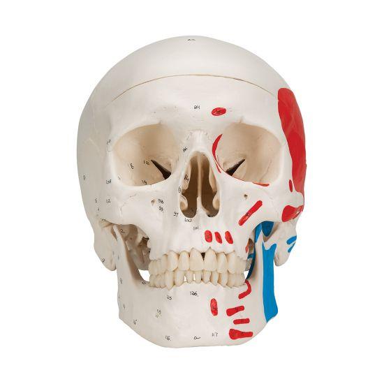 Cranio, modello classico, dipinto, in 3 parti A23