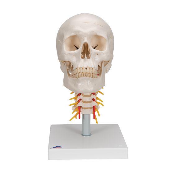 Cranio, modello classico, con vertebre cervicali, in 4 parti A20/1