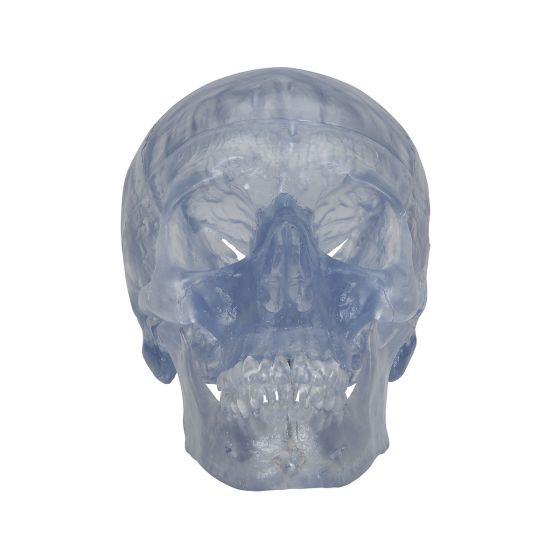 Cranio, modello classico, trasparente, in 3 parti A20/T