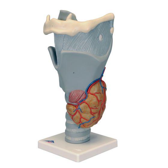 Modello funzionale della laringe ingrandito 2,5 volte G20