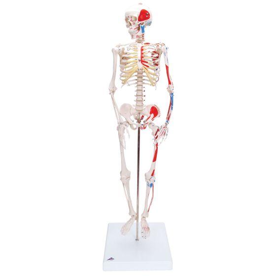 """Mini scheletro """"Shorty"""" A18/5 con rappresentazione a colori dei muscoli, su base"""