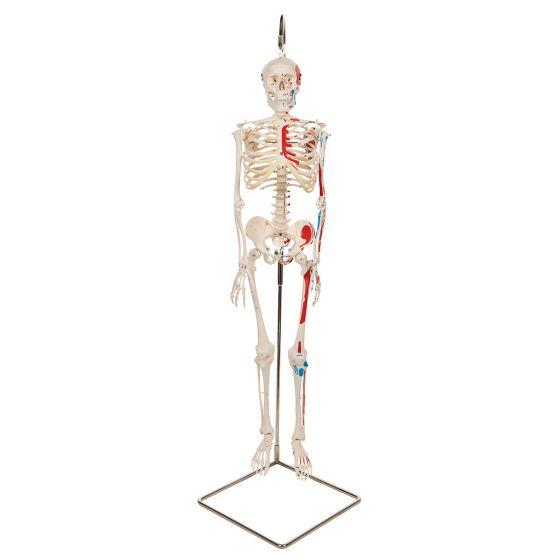 """Mini scheletro """"Shorty"""" A18/6 con rappresentazione a colori dei muscoli, su stativo pensile"""