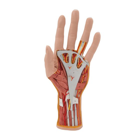 Modello struttura della mano, in 3 parti M18