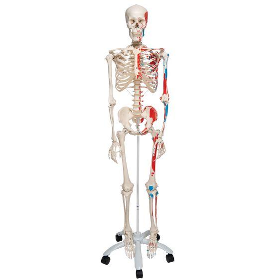 Scheletro classico Max, su cavalletto a 5 gambe, con rotelle A11