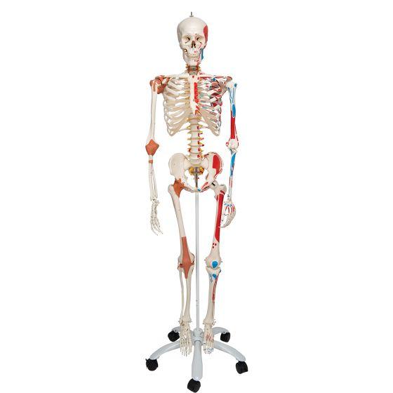 Scheletro di lusso Sam, su cavalletto a 5 gambe, con rotelle A13