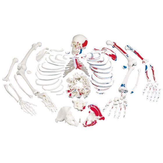 Scheletro con raffigurazione dei muscoli, non montato A05/2
