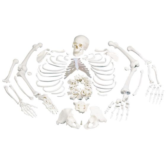 Modello di Scheletro, non montato, completo di cranio in 3 parti A05/1