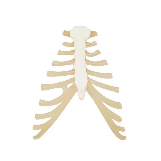 Modello dello Sterno con cartilagine costale A69
