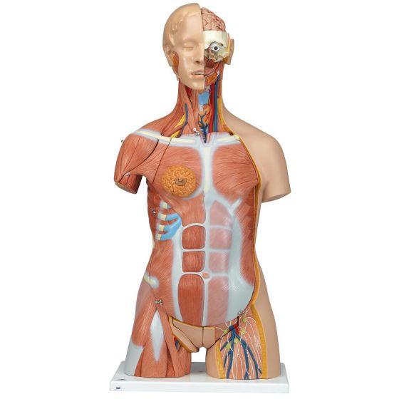 Modello di lusso di Torso bisessuato con schiena aperta, in 31 parti B40