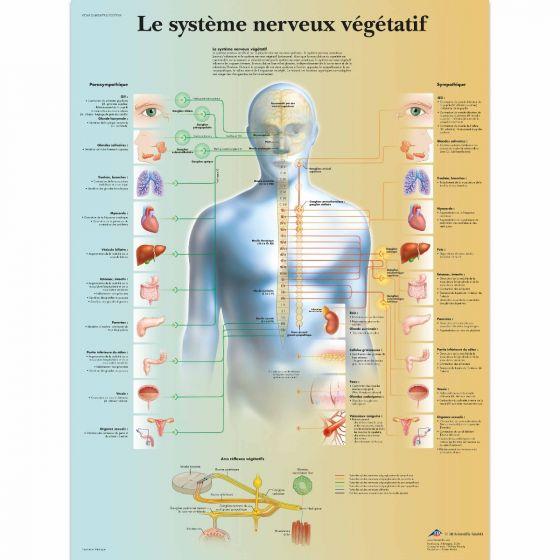 Tavola anatomica del sistema nervoso vegetativo VR2610L